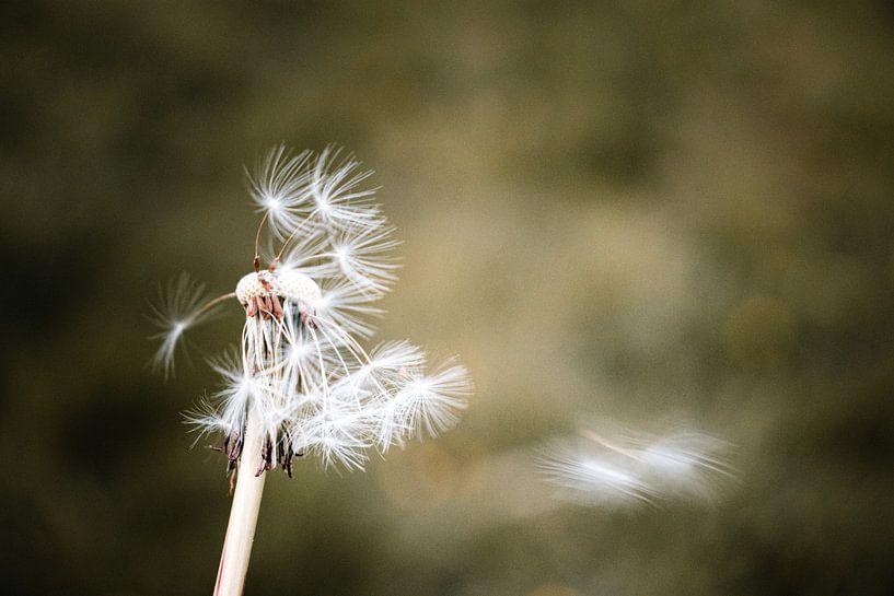 Le pissenlit perd ses dernières graines de fleurs dans le vent sur Arthur Scheltes
