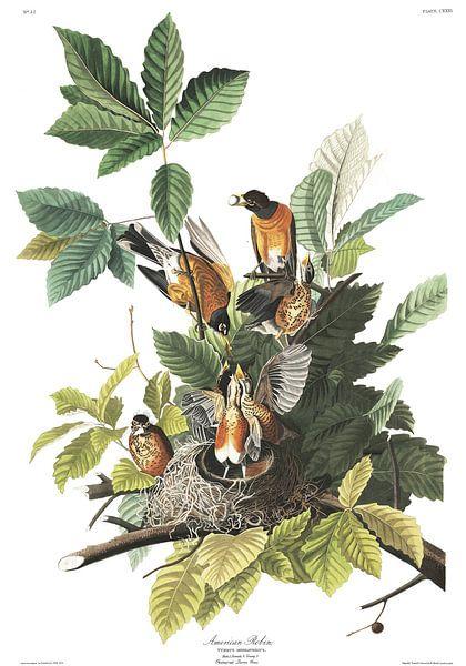 Roodborstlijster van Birds of America