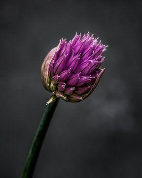 De bloem van bieslook met een donkere achtergrond von Harrie Muis