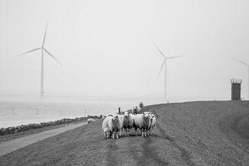 Schafe auf dem Trockenen von Maaike Koning