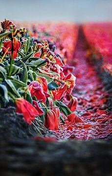 Sterbende rote Tulpen von Chihong