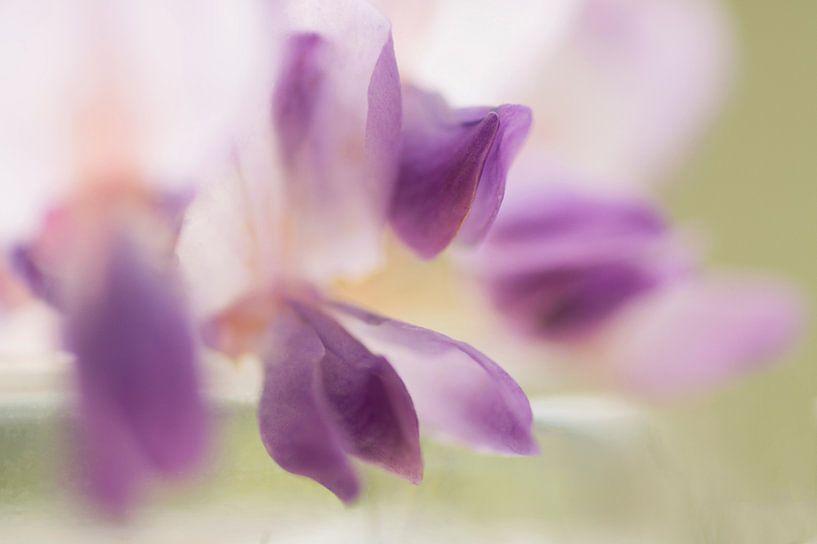 Transparant (bloem van de Blauwe Regen) van Birgitte Bergman