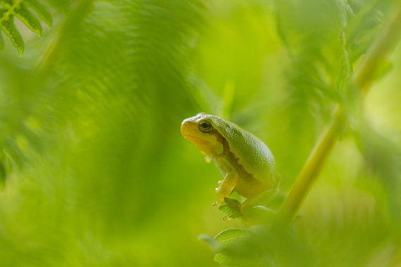 Boomkikker in het groen