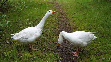 Rencontre avec deux Emden oies sur le chemin de randonnée