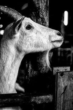 geit starend zwart wit van Tom Poelstra