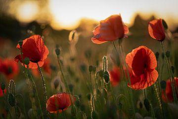 Mohnblumen im Licht der untergehenden Sonne #1 von Edwin Mooijaart