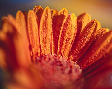 Makro Blume mit Tropfen von Inge Smulders