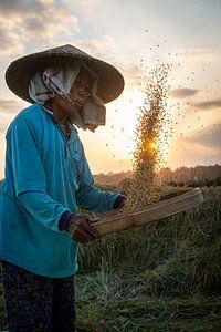 Rijst oogsten tijdens zonsondergang van Ellis Peeters