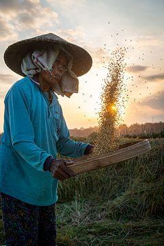 Rijst oogsten tijdens zonsondergang