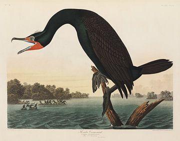 Kuifaalscholver - Teylers Museum Edition -  Birds of America, John James Audubon van Teylers Museum