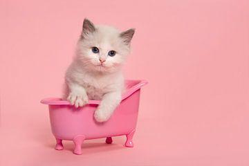 Niedliche Ragdoll Kätzchen in einem rosa Bad von Elles Rijsdijk