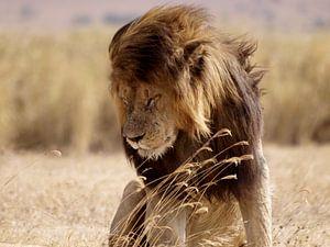 Leeuw in de Ngorongoro krater