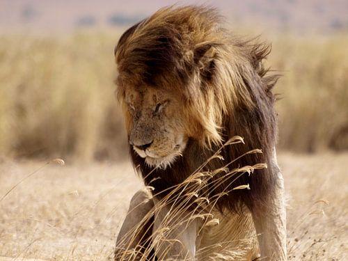 Leeuw in de Ngorongoro krater van Roos Vogelzang