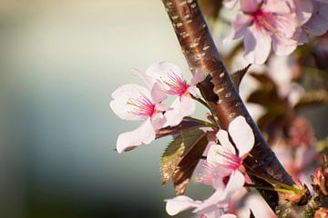 rosa Kirschblüte bis ins Detail. von Marjolein Hameleers