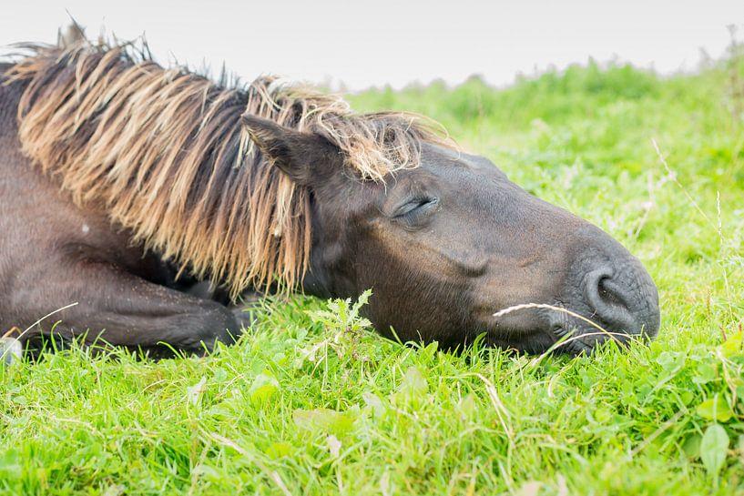 Paarden  Slapend konikpaard Oostvaardersplassen van Servan Ott