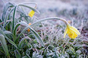 Frozen daffodil