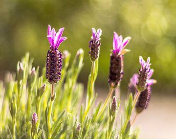 Paarse Lavendel in het groen van Nicole Nagtegaal