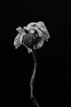 Schöne getrocknete Blume als Stillleben in schwarz und weiß