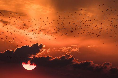 Spreeuwenzwerm in de zonsondergang