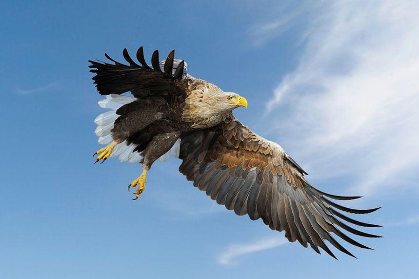 White-tailed Eagle / Sea Eagle ( Haliaeetus albicilla ) impressive adult, in flight against blue sky van wunderbare Erde