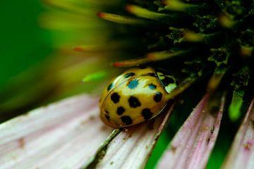 Lieveheersbeestje op bloem van Winfred van den Bor