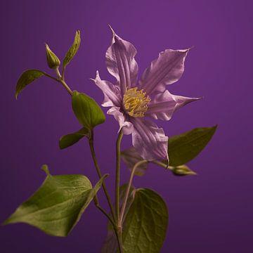 Clematis op paars van Gareth Williams