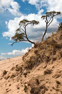 Boom op zandduin Kootwijkerzand