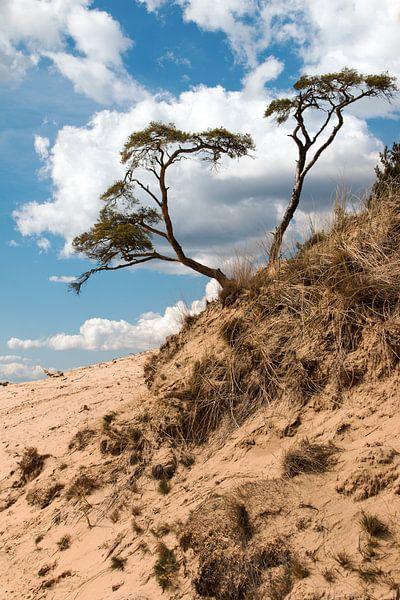 Boom op zandduin Kootwijkerzand van Klaas Hollebeek