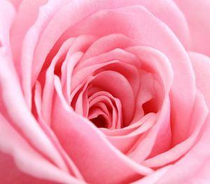 Roze roos in het vierkant (macro)