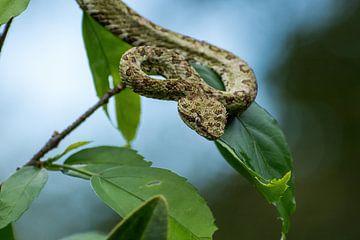 Eyelash palm pitviper in Costa Rica van Mirjam Welleweerd