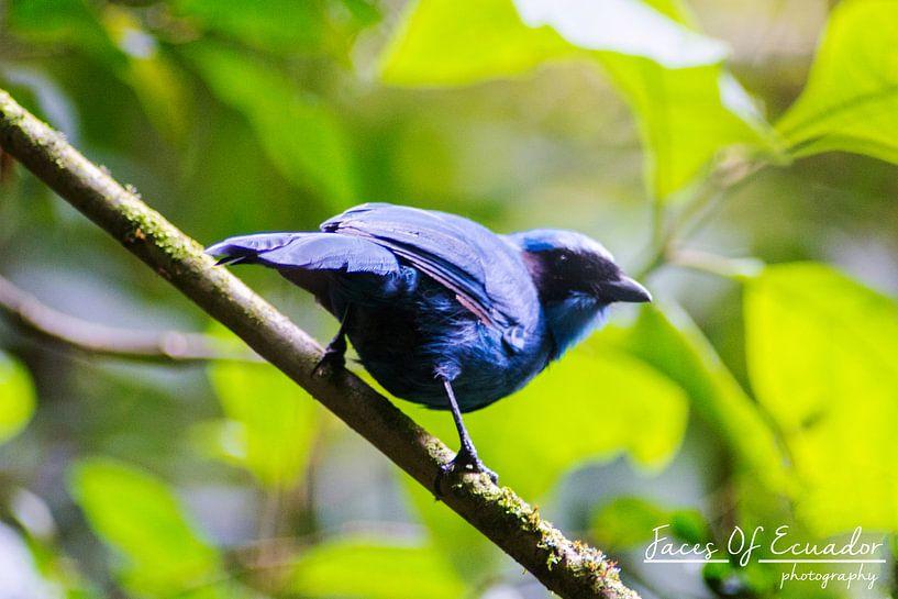 Blauw vogeltje van Kevin Van Haesendonck