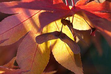 Acer in de herfst van Cora Koning