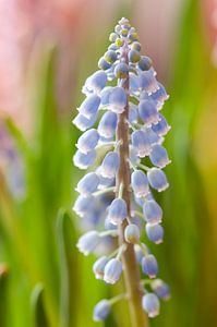 Blauwe druifjes (Muscari botryoides) van