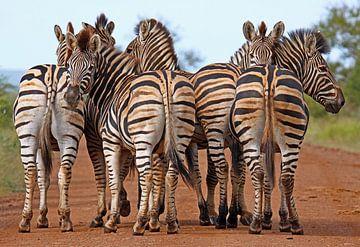 Zebras van W. Woyke
