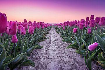 Paarse tulpen tijdens zonsopgang