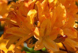 Tuin plezier met de oranje bloeiende Azalia