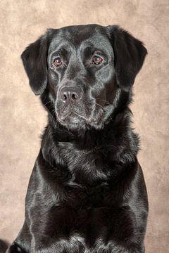 Labrador van Tony Wuite