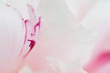 Roos in zacht wit 3 van