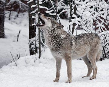Lied van de wolf. Een wolf (vrouwelijke wolf) huilt (huilend, schreeuwend) en tilt zijn snuit omhoog van Michael Semenov