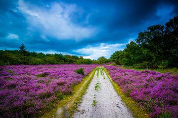 Blühende Heide 2 von Peter Heins