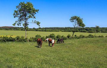 Pferde grasen auf einer grünen Wiese vor blauem Himmel von MPfoto71