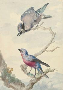 Zwei Vögel: ein blauer Eichelhäher und eine violette Brustkotinga, Aert Schouman