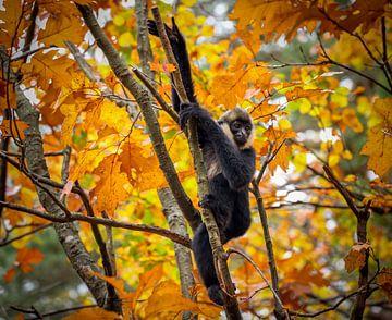Baby Witwanggibbon in de  bomen van Amanda Blom