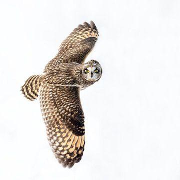 Kurzohrige Eule im Flug, die vor verschneitem Hintergrund zusieht. von Michael Kuijl