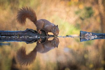 Nieuwsgierig eekhoorntje van Ruud Bakker