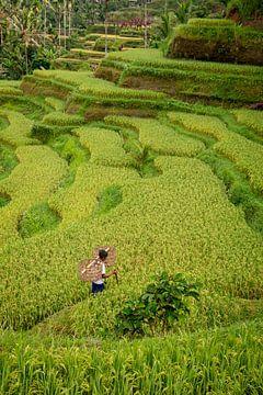 Tegallalang werker door de rijstvelden van Ellis Peeters