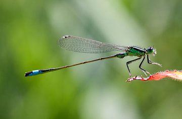 Groene libelle lantaarn op een rood blaadje van Maurice de vries