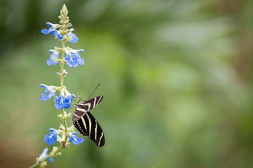 Zebravlinder op een Ridderspoor