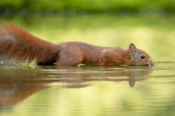 Eekhoorn in t water 2