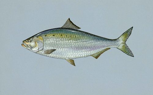 Amerikaanse elft (American shad fish) van